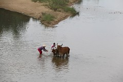 IMG_6909 (jsgcowley) Tags: asia vietnam quynhon countryside river person vietnamese woman girl animal cow washing
