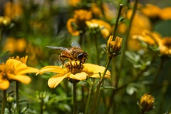 *** (pszcz9) Tags: polska poland przyroda nature natura kwiat flower zblienie closeup pszczoa bee bokeh owad insect beautifulearth sony a77