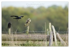 Incoming (cheffievrs) Tags: wild nature canon post wildlife raptor barbedwire perched buzzard corvid buteobuteo birdofprey carrioncrow wildfree borderfx