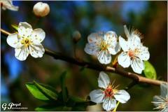 BRIN DE PRINTEMPS (Gilles Poyet photographies) Tags: nature fleurs soe auvergne cerisier beaumont puydedme autofocus aplusphoto artofimages rememberthatmomentlevel1