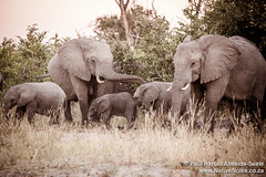 Elephants With Young In The Okavango Delta, Botswana