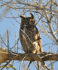 March 29, 2015 - A male Great Horned Owl keeps watch in Thornton. (Ed Dalton)