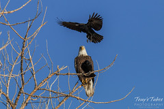 Crows hassle a Bald Eagle