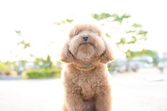Backlit Toy Poodle (che_916) Tags: park portrait nature animal 35mm nikon taiwan poodle che backlit nikkor chiayi afs backlighting tropicofcancer dx toypoodle 235 d5300 f18g chephotograpy
