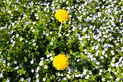 Löwenzahn (turgeon76) Tags: flowers nature spring fuji dandelion handheld fujifilm grün fujinon kraut frühling blaue löwenzahn xseries unkraut blühte xt1 xsystem