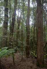 Eucalyptus fastigata? and Nothofagus moorei mixed forest, Barrington Tops National Park, NSW, 07/02/15 (Russell Cumming) Tags: plant newsouthwales eucalyptus myrtaceae muswellbrook nothofagus nothofagaceae barringtontopsnationalpark eucalyptusfastigata nothofagusmoorei