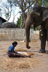 DSC_0162_2 (drs.sarajevo) Tags: india karnataka madikeri kaveririver dubareelephantpark