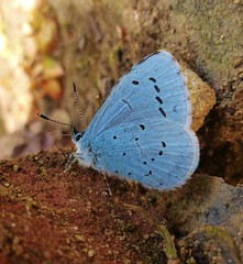 handsome.. (paulyw68) Tags: blue hairy butterfly spring shy