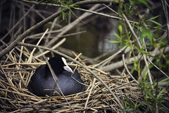 (Kim van Dijk photography) Tags: baby bird water animal spring babies nest mother waterbird eggs chicks biesbosch nesting meerkoet