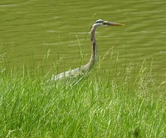 Great Blue Heron Atlantic Shores Retirement Community (MisterQque) Tags: heron virginiabeach greatblueheron
