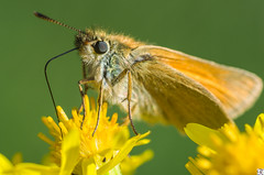 Small skipper (Thymelicus sylvestris) (RKP Chennai) Tags: pentaxk30 k30 london closeupshot rkpchennai mitcham7islandpond animal outdoor handheld depthoffield uk ngc colourful cute wild urbanwilderness urbanpark urban creamybokeh bokeh dof thindof narrowdof backgroundblurr blurr greenveinedwhite butterfly groundshot closeup brightsunnyday sunny bright daylight kiron105mmf2811macro kiron105mm 105mm f16 whitebutterfly lepidoptera insect 14x magnification 14 lightgreenbutterfly naturallight brightsunlight smallskipper thymelicussylvestris hesperiidaefamily europeanpeacock aglaisio leaf foliage plant organicpattern pattern