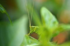 Groes Grnes Heupferd - Tettigonia viridissima (wimmerralf) Tags: heuschrecke heupferd grn tettigoniaviridissima makro macro macroelmaritr 60mm oldlens altglas vintagelens mft lumixgx7 insekt tier natur