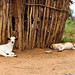 Goat and dog resting side by side