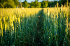 Spider on a Summers day (ErikFromCanada) Tags: spider web spiderweb wideangle ultrawide a7r sony summer wheat sunset sun warm light evening serene dangling spidersweb path