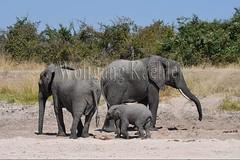 10075738 (wolfgangkaehler) Tags: africa elephant mammal nationalpark digging african wildlife dry zambia africanelephant babyelephant southernafrica animalbabies babyanimal babyanimals 2016 zambian dryriverbed southluangwanationalpark animalbaby africanelephantloxodontaafricana diggingforwater