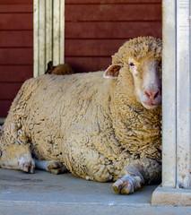 Stanley 2015 (sue2028) Tags: california portrait rescue wool nature face animal outdoors losangeles vegan sheep farm handsome leaning animalsanctuary schaf farmsanctuary