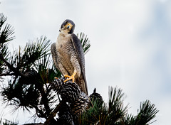 Stare from the Pine (Rick Derevan) Tags: bird falcon peregrinefalcon raptor falcoperegrinus california