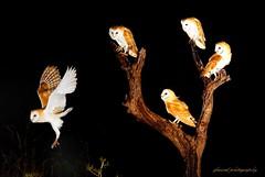 Birds in Israel (2) - Night owls (jackfre2) Tags: israel birds owls hula hulabirdpark birdwatching agamonhahula night