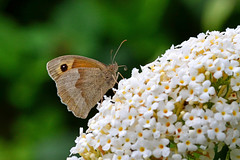 Meadow Brown ... Maniola jutina 2 (AndyorDij) Tags: meadowbrownbutterfly meadowbrown maniolajurtina empingham england rutland uk unitedkingdom 2016 summer plants gardens flowers buddleia butterfly insects insect andrewdejardin lepidoptera empinghambutterflies
