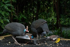Crested Guineafowl (ivnseow) Tags: park wild bird nature singapore feeding wildlife fowl jurong crested avian guineafowl