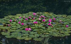 Concert of water lilies (KF-Photo (off)) Tags: teich 1610 weiher schnbuch spiegelungen seerosen seerosenbltter dettenhausen teichrosen teichrosenbltter