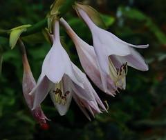 Hosta @ Perennials, Etc, Near Garfield, Arkansas (danjdavis) Tags: flower whiteflower arkansas hosta bentoncounty perennialsetc