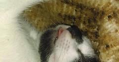 Baby blep introducing kitty our new kitten. via http://ift.tt/29KELz0 (dozhub) Tags: cat kitty kitten cute funny aww adorable cats