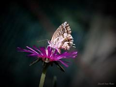 Ti vedo  /  I see you (IVAN 63) Tags: nature butterfly natural bokeh natur natura fiori farfalle licenidedeigeranicacyreusmarshallibutler