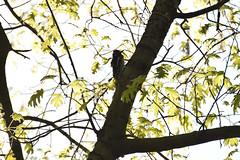 Goose Island county park (turn off your computer and go outside) Tags: 2016 birdsofminnesotaandwisconsinpage201 countypark dryocopuspileatus gooseisland lacrossecounty may wi wisconsin bird critter nature outdoors pileatedwoodpecker spring springtime sunnyday warm westernwisconsin woodpecker