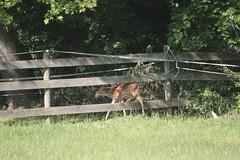 IMG_9097 (thinktank8326) Tags: nature wildlife deer spots fawn whitetaileddeer babyanimal
