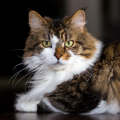 Buddy (ako_law) Tags: cat katze mainecoon kater