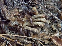 Dermestes maculatus (carlos mancilla) Tags: dermestesmaculatus insectos escarabajos beetles larvas larvae olympussp570uz