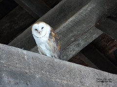 Barn Owl - Delta, BC (Michael Klotz - The Bird Blogger.com) Tags: barnowl tytoalba delta westhamisland barn brown beams planks cobweb sleepy white spotted spots disc face bc britishcolumbia canada thebirdbolggercom birdwatcher birding bird owl