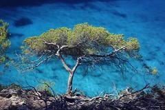 Green and blue. (eztopo79) Tags: island balearic balears mediterrani mediterranean 2016 canon water estiu verano summer mitjana beach cala cove tree menorca