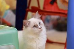 20160809-020 (Snowy Olaf) Tags: kitten britishlonghair       feliscatus  canon 5dmarkiii ef100400mm4556lis f4556