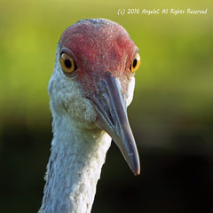 Sandhill Mom (AngelaC2009***) Tags: 2016 august florida riverview wildlife backyardwildlife bird sandhillcrane portrait macro fujifilmfinepixs8200 platinumheartaward