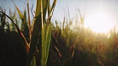 Remnants of Summer (Pt. I) (Wenzel Rollmann) Tags: outdoors nature flora green grass sun sunlight sunshine canon