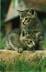 Cat (Steenvoorde Leen - 1.9 ml views) Tags: pussy puss cat kat poes katze chat minou mieze pussycat