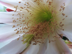 ER 160901 (35) (Paolo Bonassin) Tags: flowers cactaceae cactacee cactus succulente cereus cereusperuvianus