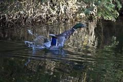 Mallard takes off (nicoangleys) Tags: tetons grandtetonsnp nationalpark wyoming jacksonhole schwabacherslanding
