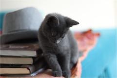 IMG_2506 (murkla_la) Tags: cat russianblue moussie gray graycat