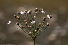 The last bloom (Rick & Bart) Tags: nieuwenhoven sinttruiden nature autumn flower rickvink rickbart canon eos70d gnneniyisi thebestofday