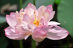 Nature's Best - Lotus in Bloom (Babish VB) Tags: flowerphotography nature naturesbest flowercloseup nicecapture flowercapture keralacapture kerala flowersofindia flowersofkerala lotus lotusflower lotusbloom alleppey alappuzha flora flowerbeauty