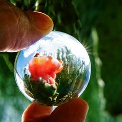 mini mundo (Rodrigo Uriartt) Tags: magnified nature natureza ampliada crystalball crystal ball macro macrophotography closeup cactus israel fujifilm xpro1