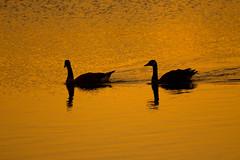 lake katherine. july 2016 (timp37) Tags: july 2016 illinois summer lake katherine geese palos
