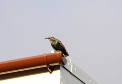 Starlings around. (aitch tee) Tags: birds starling nature wildlife garden rhoose walesuk sturnusvulgaris