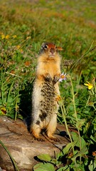 You may stay (GrisParr) Tags: loganspass glaciernationalpark montana prairiedog mammals animal rodent cute fury northamerica usa parks nature outdoors grass wildlife wild creature travel adventure goingtothesunroad inexplore explored
