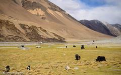Grazing Yaks (II) (Modesto Vega) Tags: yak india animals mammals ladakh vertebrates jammukashmir