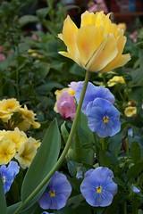 Happy Spring! (charlottes flowers) Tags: flowers shoppingmall tulip paloalto