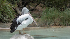 Pelican Lagoon (Theen ... busy) Tags: pink trees white black eye feet water rock neck lumix zoo sand sitting sandy beak lagoon pelican pale adelaide shallow sunning greass theen